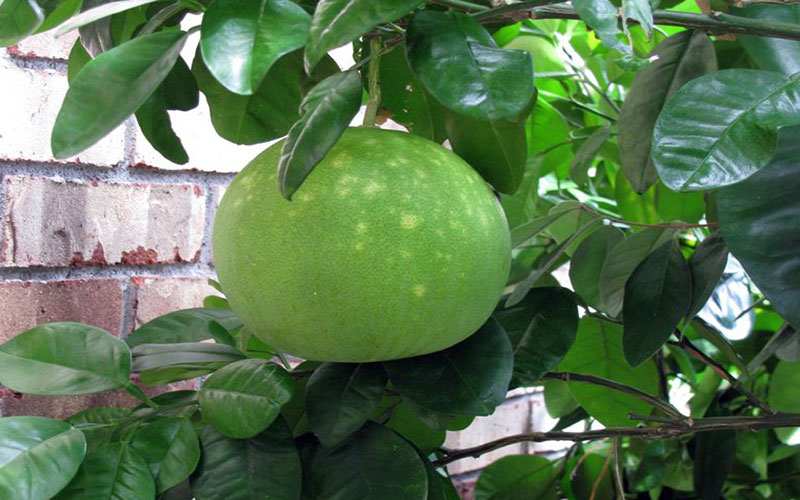 CITRUS GRAPEFRUIT TREES FOR SALE