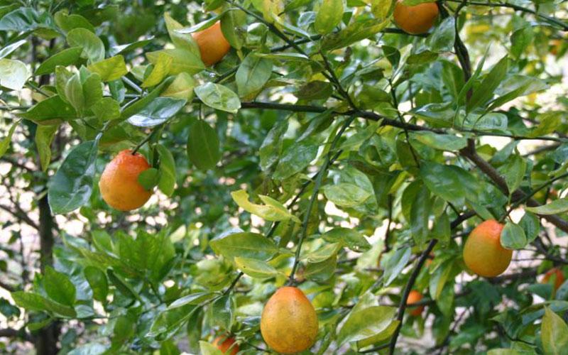 CITRUS ORANGE TREES FOR SALE