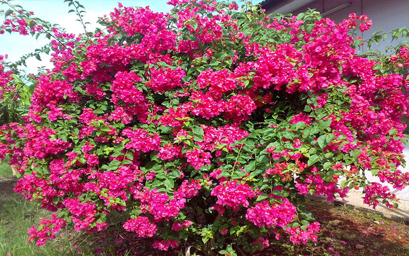 Bougainvillea For Sale North Fort Myers