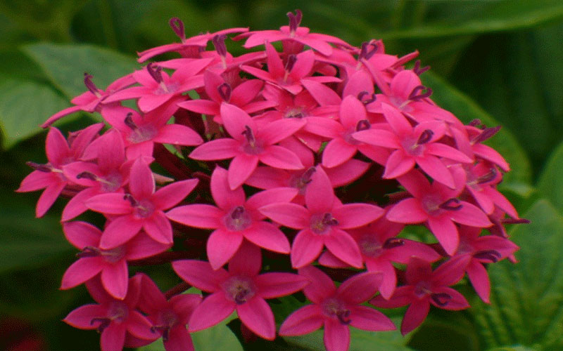Pentas For Sale North Fort Myers