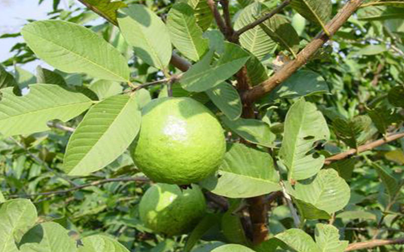 TROPICAL FRUIT TREES GUAVA