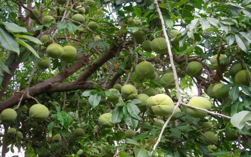Tropical Fruit Trees Sapote
