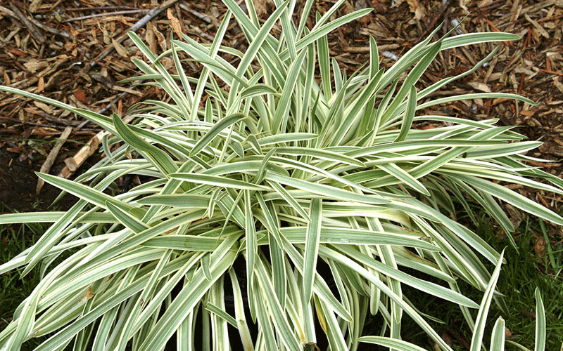 Green liriope ornamental grass for sale north fort myers for Red and green ornamental grass