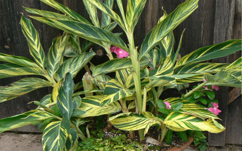 Ginger Variegated For Sale North Fort Myers