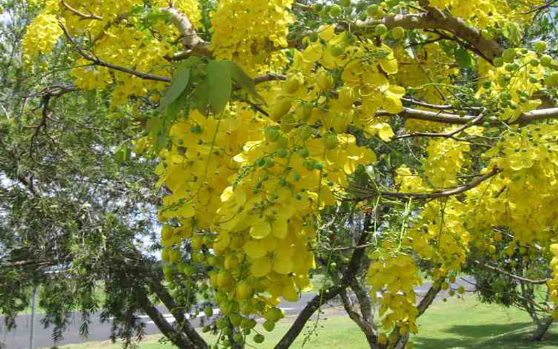 Cassia Tree For Sale North Fort Myers