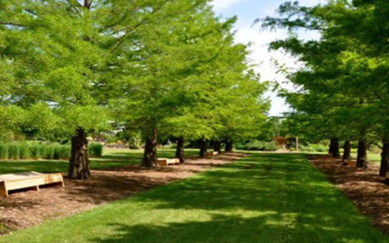 Cypress Tree For Sale North Fort Myers