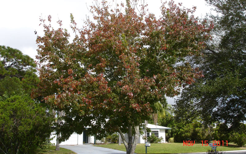 Florida Maple Tree For Sale North Fort Myers