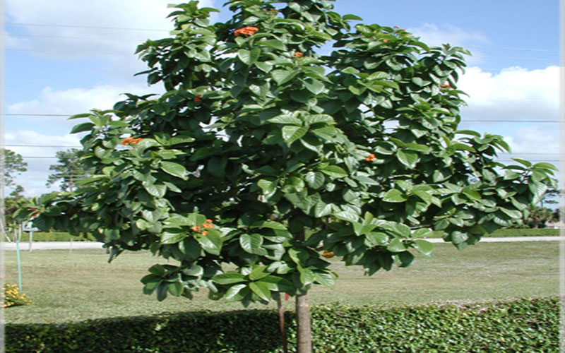 Geiger Tree For Sale North Fort Myers