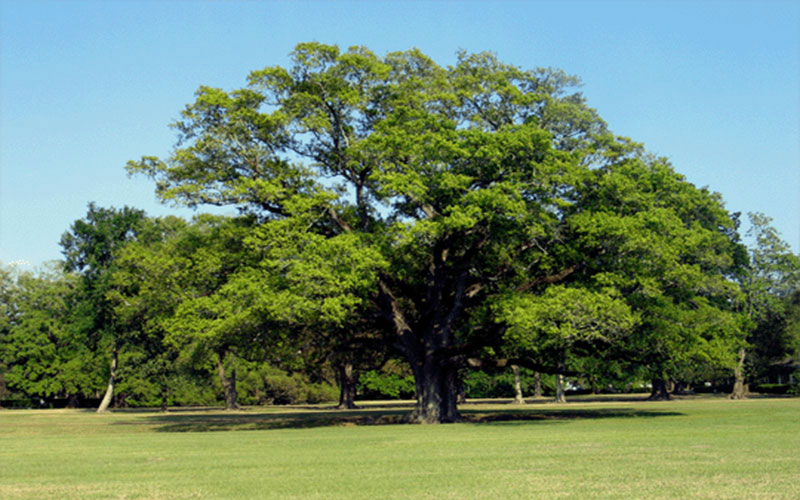 Live Oak Tree For Sale North Fort Myers