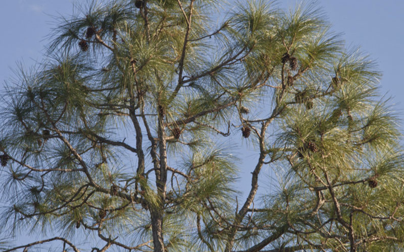 Slash Pines Tree For Sale North Fort Myers
