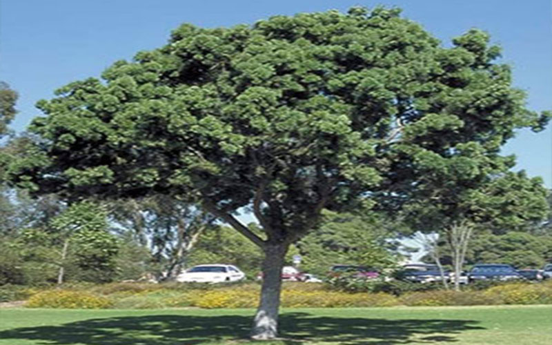 Weeping Podocarpus Tree For Sale North Fort Myers