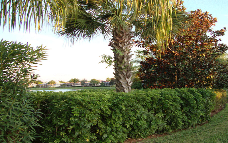 Arboricola Green Shrub For Sale North Fort Myers
