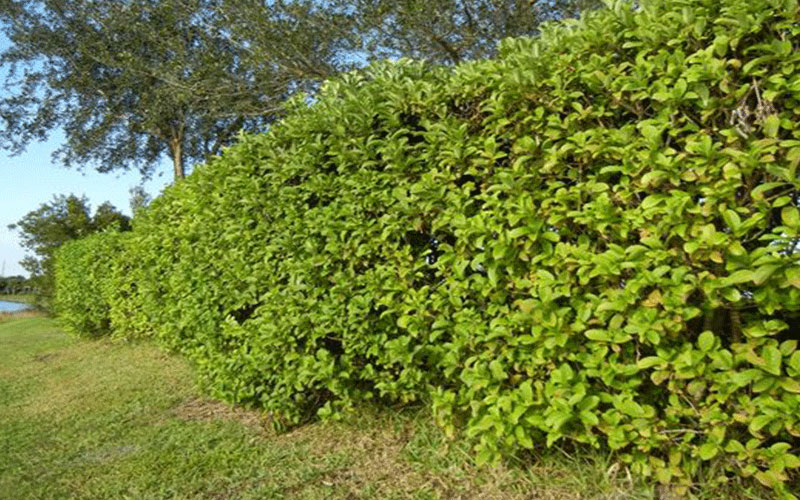 Clusia Shrub For Sale North Fort Myers
