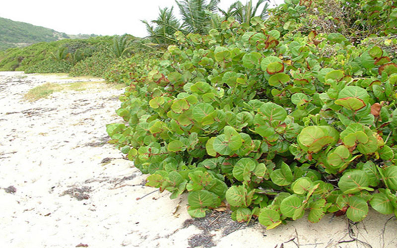 Sea Grape Shrub For Sale North Fort Myers