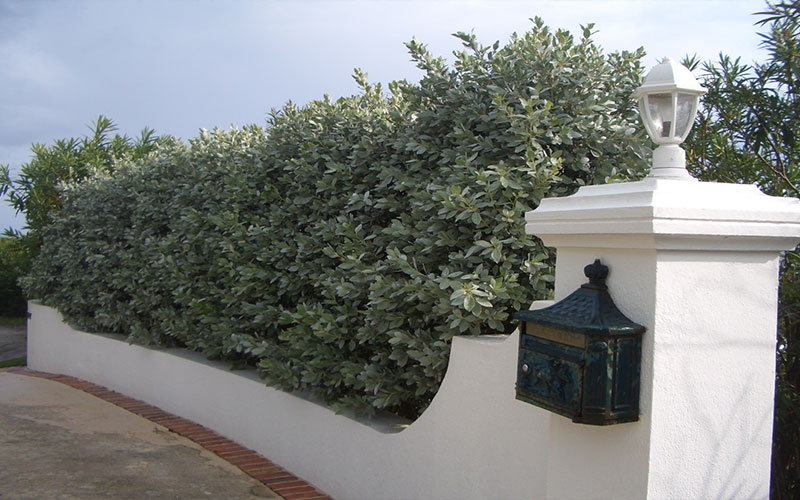 Silver Button Wood Shrub For Sale North Fort Myers