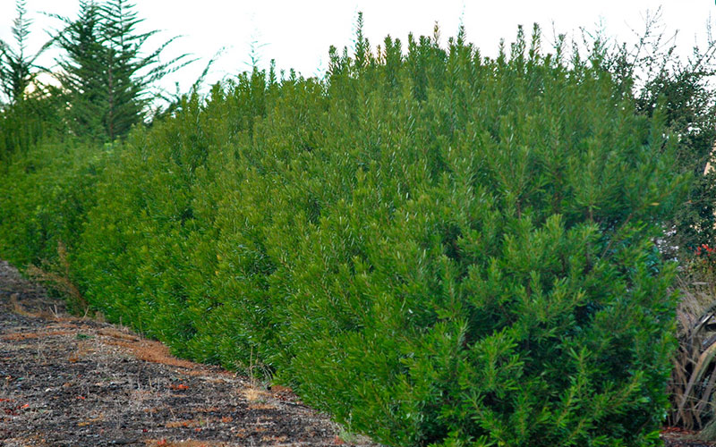 Wax Myrtle Shrub For Sale North Fort Myers