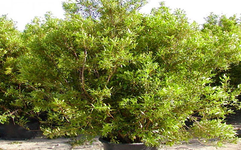 Wax myrtle shrub for sale north fort myers for Wax landscape