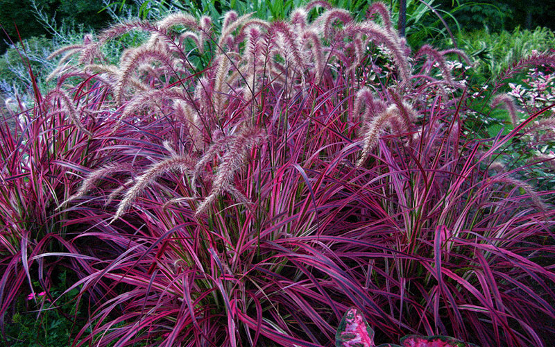 Red fountain ornamental grass for sale north fort myers for Purple grasses for landscaping