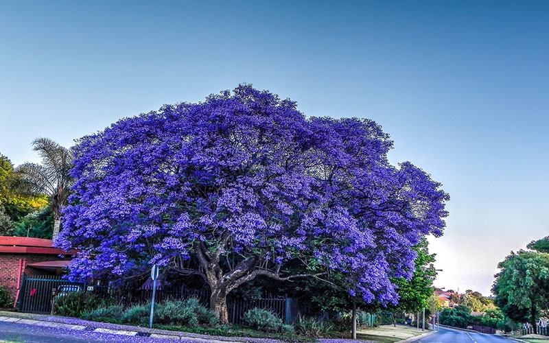 Jacaranda Tree For Sale North Fort Myers