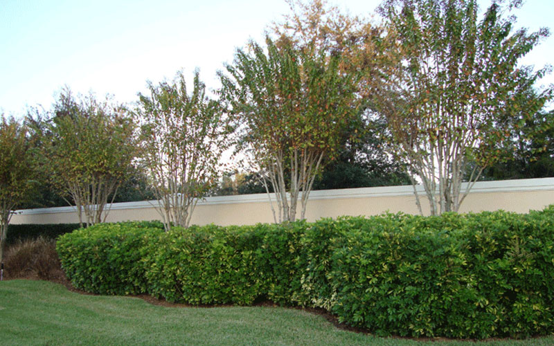 Arboricola green shrub for sale north fort myers for Myers lawn and garden