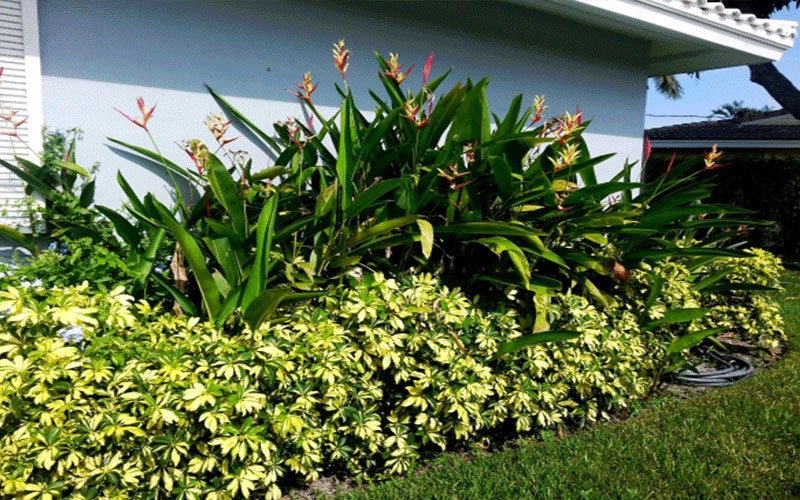 Arboricola trinette shrub for sale north fort myers for Landscaping rocks fort myers fl