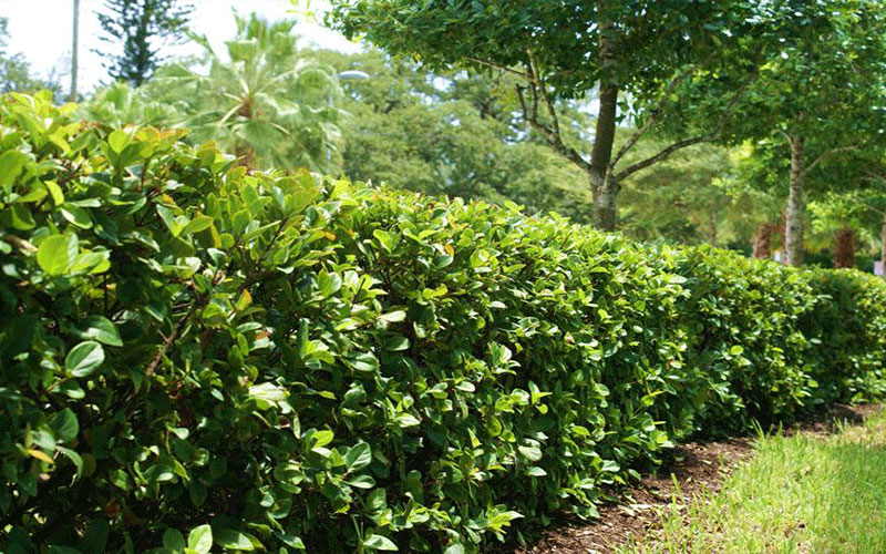 Clusia Shrub For North Fort Myers