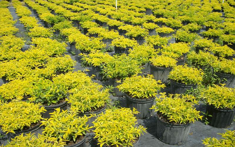 Gold Mound Duranta Shrub For Sale North Fort Myers