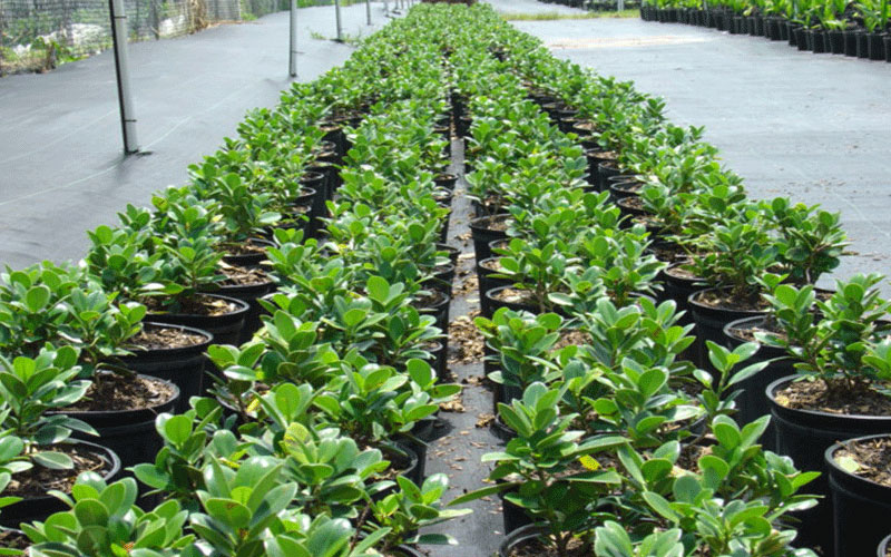 Green Island Ficus Shrub For Sale North Fort Myers