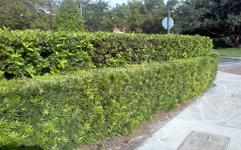 Podocarpus shrub for sale north fort myers for Landscaping rocks fort myers fl