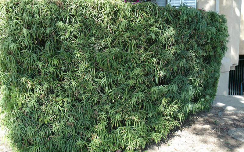 Podocarpus Shrub For Sale North Fort Myers